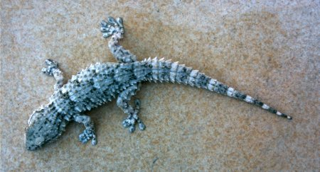 gecko Gecko%203
